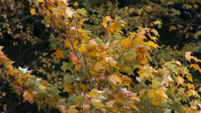 autumn trees blowing in the wind - johnfscott stock videos & royalty-free footage