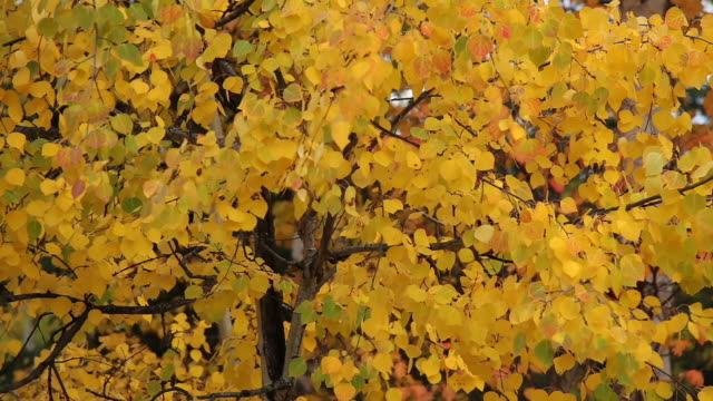 autumn trees,  chugach national forest, alaska. - chugach national forest stock videos & royalty-free footage
