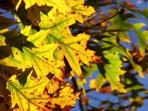 vidéos et rushes de pal : l'automne - arbre à feuilles caduques