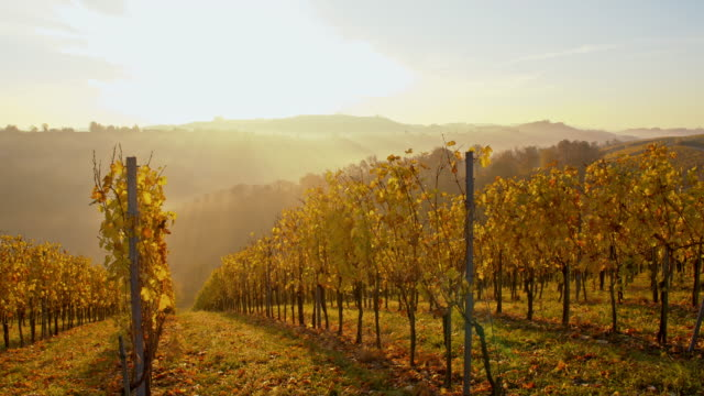 DS Autumn vineyard in the sunrise