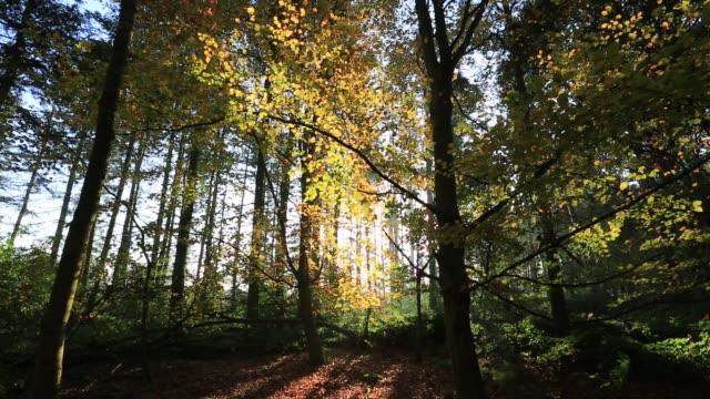 autumn woodland colours, rockingham forest near the village of bulwick, northamptonshire, england, uk - northamptonshire stock videos & royalty-free footage