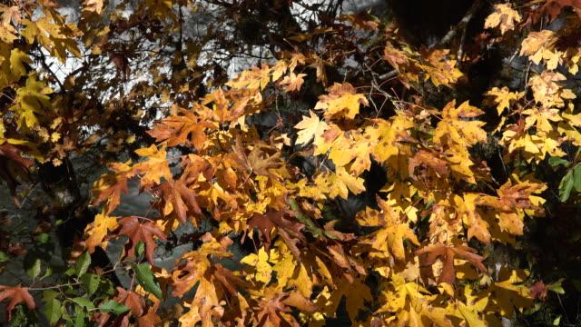 autumn yellow big leaf maple leaves - bigleaf maple stock videos and b-roll footage