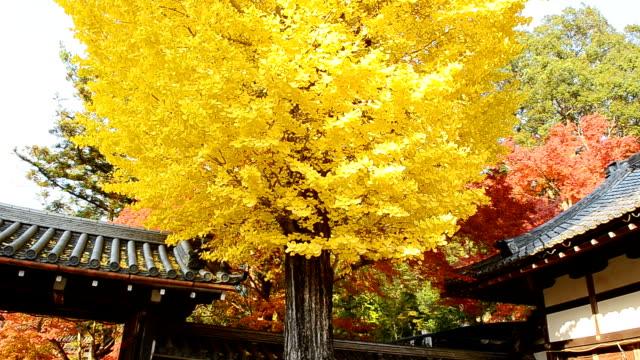 herbst gelbe ginkgobaum hintergrund - ginkgobaum stock-videos und b-roll-filmmaterial