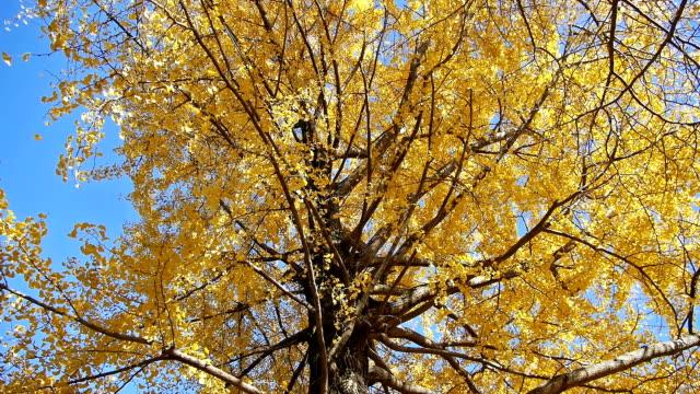 herbst gelbe ginkgobaum - ginkgobaum stock-videos und b-roll-filmmaterial