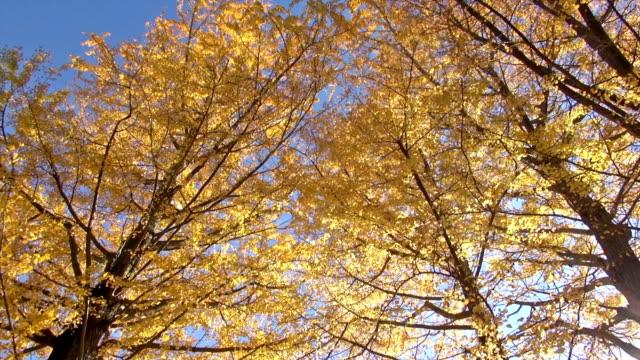 herbst gelbe ginkgo-bäumen in starker wind - ginkgobaum stock-videos und b-roll-filmmaterial