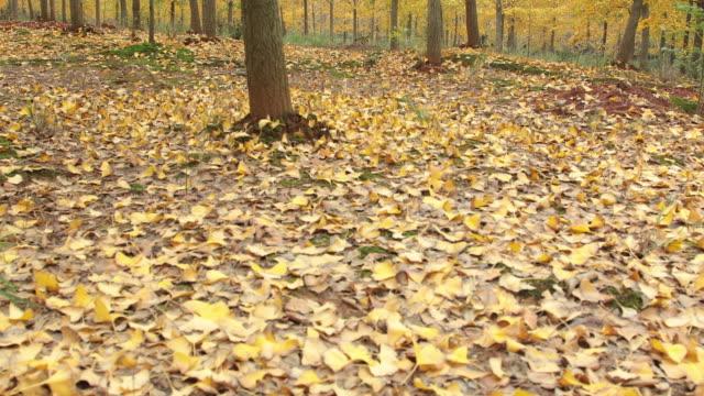 herbst gelb ginkgo - ginkgobaum stock-videos und b-roll-filmmaterial