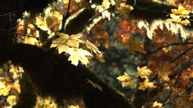 autumn yellow leaf on big leaf maple - bigleaf maple stock videos and b-roll footage