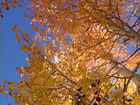 autumn yellow leaves on a tree under a clear blue sky - 落葉樹点の映像素材/bロール