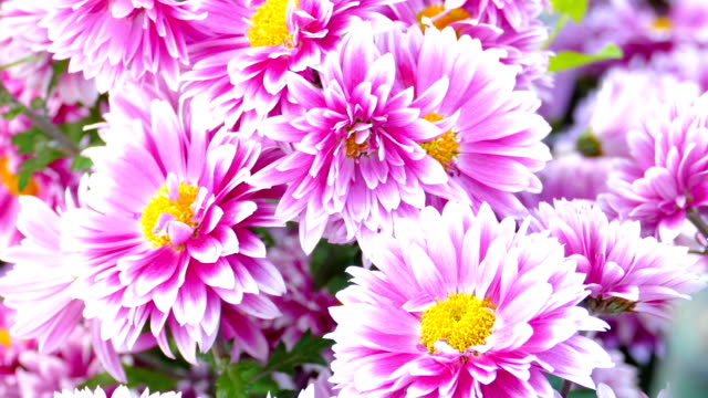 autumnal background - chrysanthemums on a sunny day - chrysanthemum stock videos & royalty-free footage