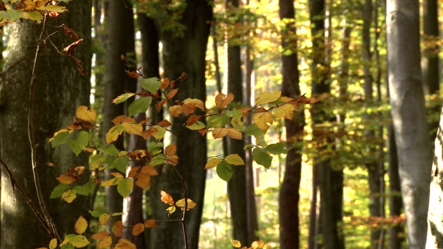 autumnal deciduous forest - deciduous tree stock videos & royalty-free footage