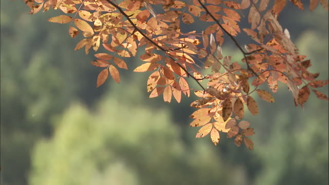 autumnal leaves of chinese ash tree, jiuzhaigou, china - ash tree stock videos & royalty-free footage