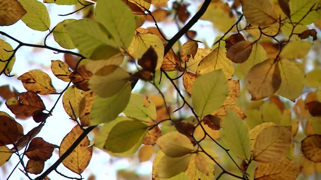 cu autumnal woodland leaves - ash tree stock videos & royalty-free footage