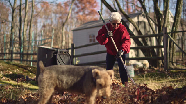 vídeos de stock e filmes b-roll de autumn's cleanup on the backyard. senior silver haired woman raking up fallen leaves together for removal, and her dog walking around. - ancinho equipamento de jardinagem