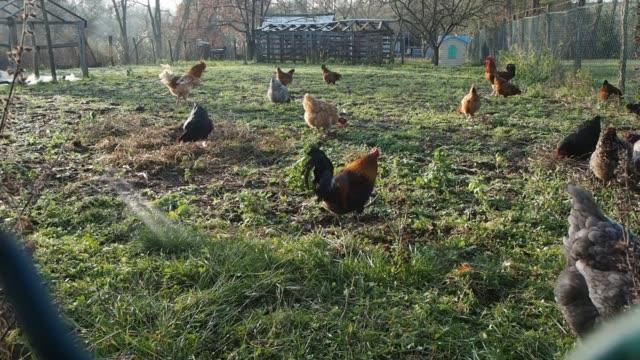 vidéos et rushes de auvers sur oise france rooster and hens on december 31 2019 in auvers sur oise france - bruno levesque