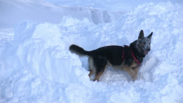 Avalanche rescue dogs can find people caught under heavy snow in just a few minutes CLEAN Avalanche dog rescue on December 12 2012 in Les Deux Alpes...