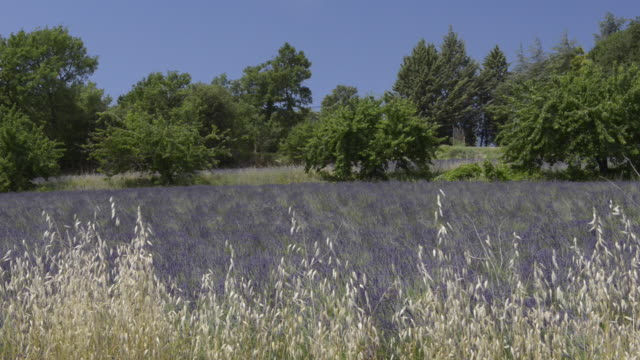 avena sativa (oat) at lavender field - luberon stock-videos und b-roll-filmmaterial
