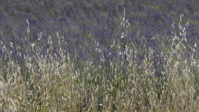 avena sativa (oat) at lavender field - luberon video stock e b–roll