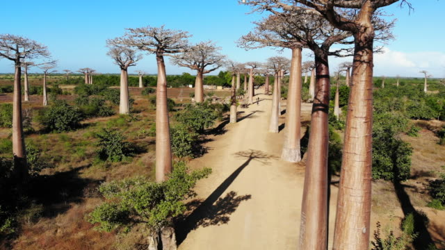 avenue de baobab, madagascar - avenue stock videos & royalty-free footage