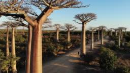 Avenue de Baobab, Madagascar