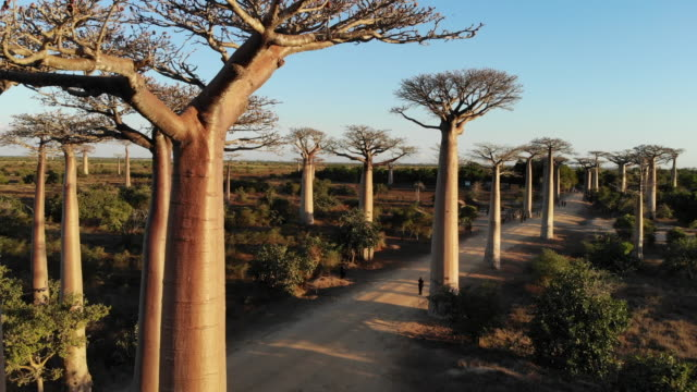 avenue de baobab, madagascar - africa stock videos & royalty-free footage