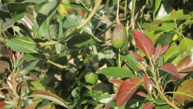 avocado fruit - kauai stock videos & royalty-free footage