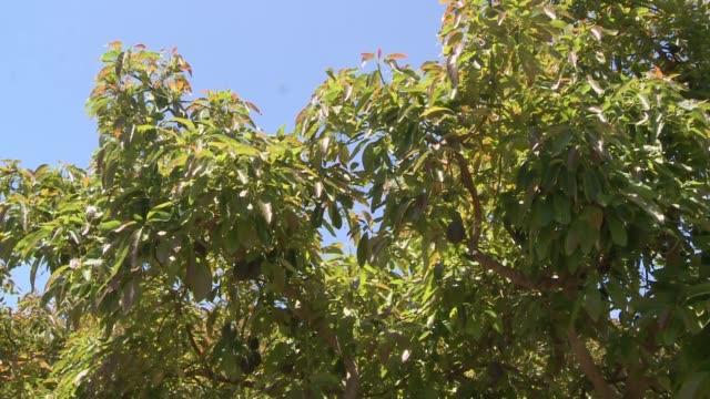 vídeos y material grabado en eventos de stock de avocado orchard in oxnard ca - aguacate