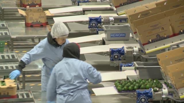 vídeos y material grabado en eventos de stock de avocado packing plant in oxnard ca - aguacate