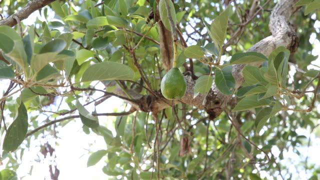 vídeos y material grabado en eventos de stock de avocado tree - aguacate
