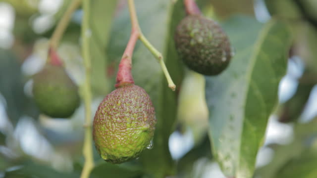 avocado - kauai stock videos & royalty-free footage