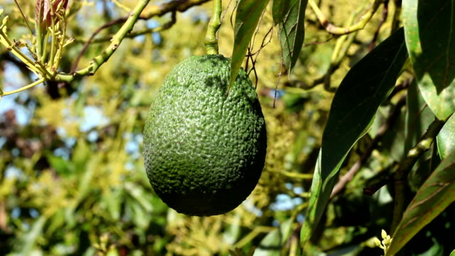 avocado - orchard stock videos and b-roll footage