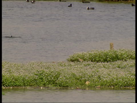 avocets and other water birds at wetlands centre; england: barnes: london wetland centre: ext wetlands, avocet striding in muddy bank of water, other... - aquatic organism stock videos & royalty-free footage