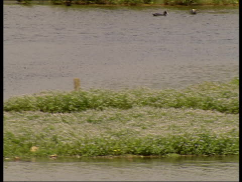 avocets and other water birds at wetlands centre; more of avocets, coots and swans in wetlands centre / avocets and their chicks - aquatic organism stock videos & royalty-free footage