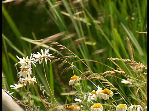 vidéos et rushes de avocets and other water birds at wetlands centre sunny banks with wild flowers on side of wetlands / close up of oxeye daises and grasses exterior of... - water bird