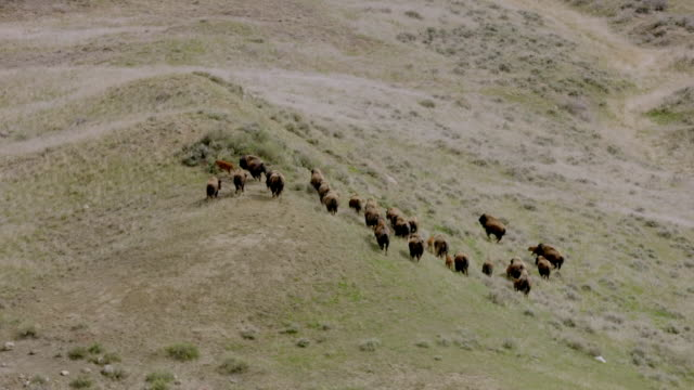 vidéos et rushes de avs buffalo on northern great plains, usa - grandes plaines américaines