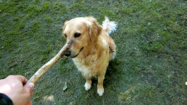 super golden retriever hund spielen fortführen's-inhaber - stab stock-videos und b-roll-filmmaterial