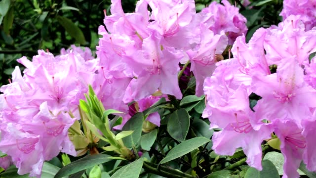 awesome springtime flowers of rhododendron ferrugineum - rhododendron stock videos and b-roll footage