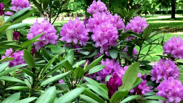 vídeos y material grabado en eventos de stock de flores de primavera impresionante de rhododendron ferrugineum - diseño floral