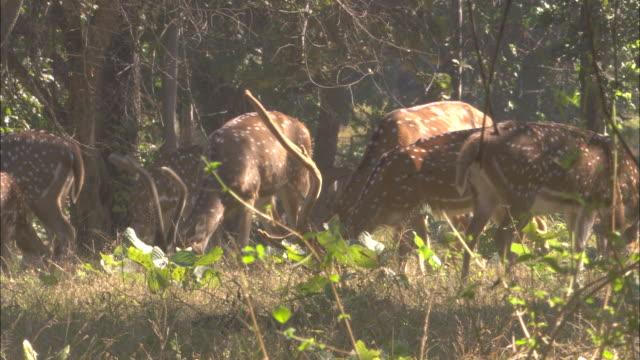 vídeos de stock, filmes e b-roll de axis deer graze in forest, pench, india. available in hd. - manada