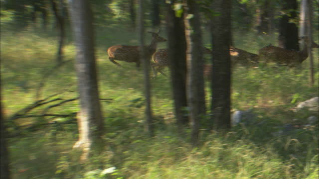 stockvideo's en b-roll-footage met axis deer herd runs through forest, pench, india. - ontsnappen