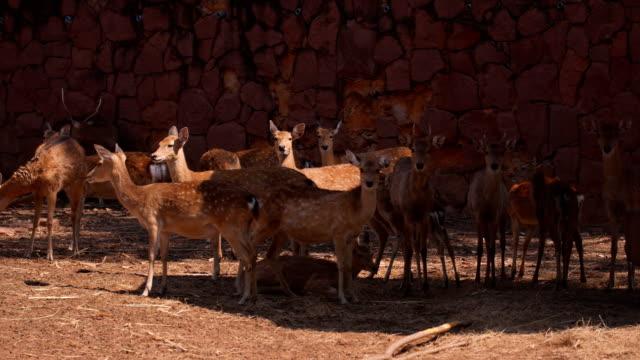 axis deer herd - femmina di daino video stock e b–roll