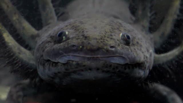 axolotl salamander - salamander stock videos and b-roll footage