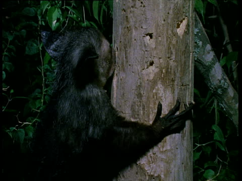 Aye-Aye gnaws into tree trunk and fishes grub out with elongated finger.