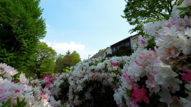 azalea bloom from nezu shrine - heidekraut stock-videos und b-roll-filmmaterial