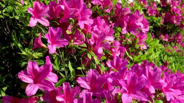 azalea flowers at honmonji temple - 10 seconds or greater stock videos & royalty-free footage