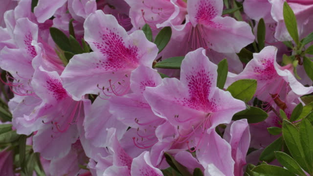 azalea in bloom closeup - rhododendron stock videos and b-roll footage