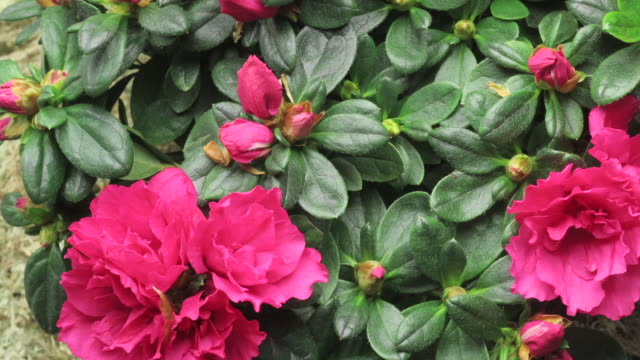 azaleas bloom and grow. - rhododendron stock videos and b-roll footage