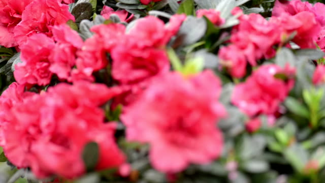 azaleas bloom in spring - plant part stock videos & royalty-free footage