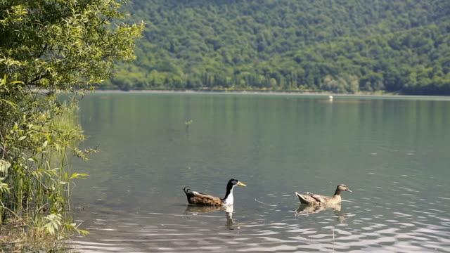 vidéos et rushes de azerbaijan national park mountain lake and forest. - canard oiseau aquatique