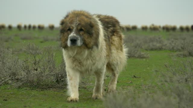 Azerbaijan Sheep dog