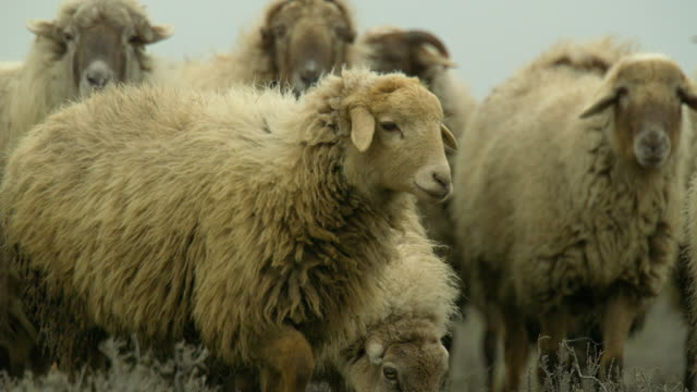 azerbaijan sheep - caucasus stock videos and b-roll footage